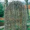 Vrtnarstvo Breskvar - Salix caprea Kilmarnock
