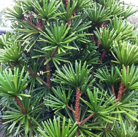 Vrtnarstvo Breskvar - Sciadopitys verticillata