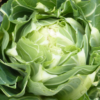 Vrtnarstvo Breskvar - Brassica oleracea botrytis Barcelona F1