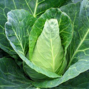 Vrtnarstvo Breskvar - Brassica oleracea capitata Caraflex F1