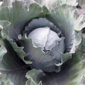 Vrtnarstvo Breskvar - Brassica oleracea capitata Kosaro F1