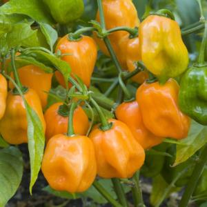 Vrtnarstvo Breskvar - Capsicum Annuum Habanero Orange