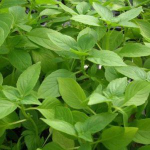 Ocimum americanum 'Lemonette' - Vrtnarstvo Breskvar