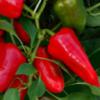 Vrtnarstvo Breskvar - Capsicum Annuum Csango F1