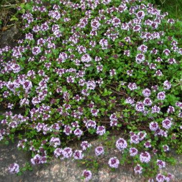 Thymus serpyllum - Vrtnarstvo Breskvar