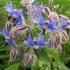 Vrtnarstvo Breskvar - Borago officinalis