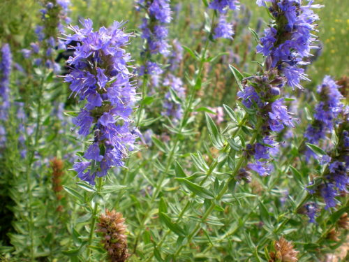 Vrtnarstvo Breskvar - Hyssopus officinalis