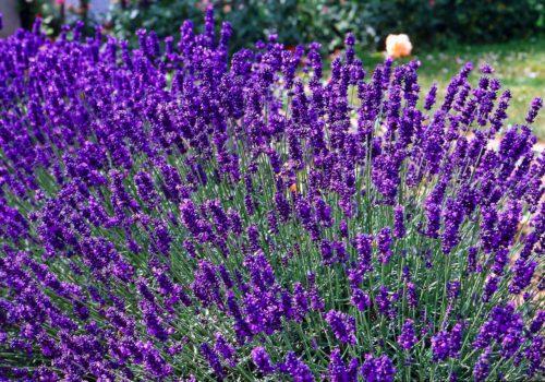 Vrtnarstvo Breskvar - Lavandula Angustifolia Dwarf Blue