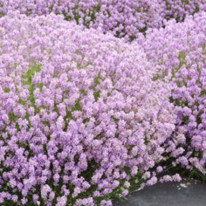 Vrtnarstvo Breskvar - Lavandula angustifolia Rosea