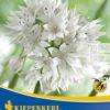 Vrtnarstvo Breskvar - Allium Graceful Beauty