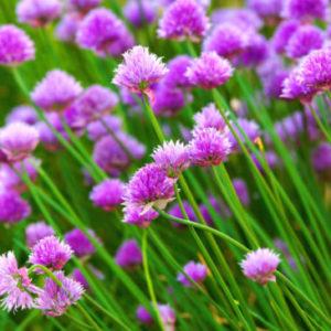 Vrtnarstvo Breskvar - Allium schoenoprasum