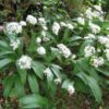 Vrtnarstvo Breskvar - Allium ursinum
