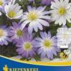 Vrtnarstvo Breskvar - Anemone blanda Mix