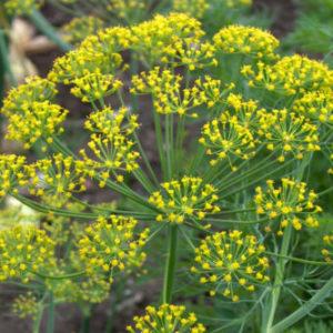 Vrtnarstvo Breskvar - Anethum graveolens