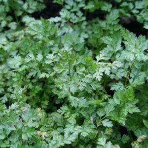 Vrtnarstvo Breskvar - Anthriscus cerefolium