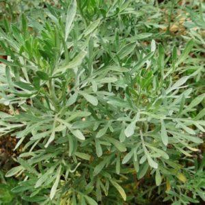 Vrtnarstvo Breskvar - Artemisia absinthium