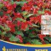 Vrtnarstvo Breskvar - Begonia Bertinii XXL