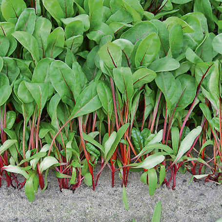 Vrtnarstvo Breskvar - Beta vulgaris Bali