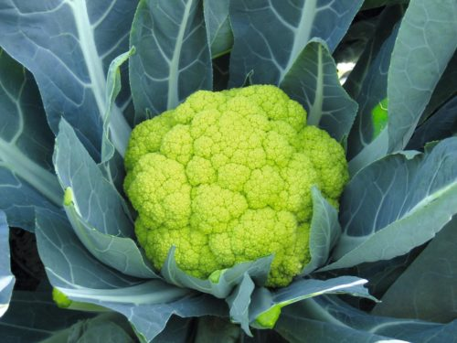 Vrtnarstvo Breskvar - Brassica oleracea botrytis Susana F1
