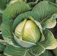 Vrtnarstvo Breskvar - Brassica oleracea capitata Atria F1
