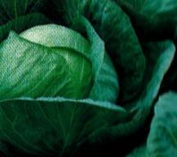 Vrtnarstvo Breskvar - Brassica oleracea capitata Beltis F1