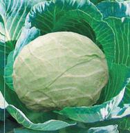 Vrtnarstvo Breskvar - Brassica oleracea capitata Corton F1
