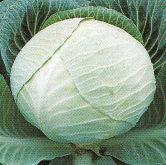 Vrtnarstvo Breskvar - Brassica oleracea capitata Dinasty F1