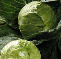 Vrtnarstvo Breskvar - Brassica oleracea capitata Nozomi F1
