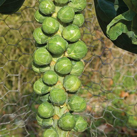 Vrtnarstvo Breskvar - Brassica oleracea gemmifera Bosworth F1