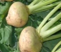Vrtnarstvo Breskvar - Brassica oleracea gongylodes Hoffman