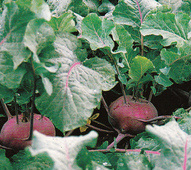 Vrtnarstvo Breskvar - Brassica oleracea gongylodes Kolibri F1