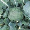 Vrtnarstvo Breskvar - Brassica oleracea italica Agassi F1
