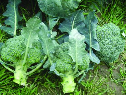 Vrtnarstvo Breskvar - Brassica oleracea italica Parthenon F1