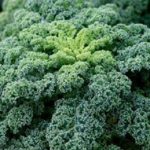 Vrtnarstvo Breskvar - Brassica oleracea sabauda Reflex F1