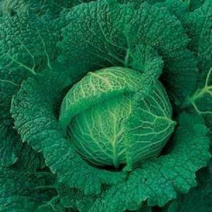 Vrtnarstvo Breskvar - Brassica oleracea sabauda Savoy King