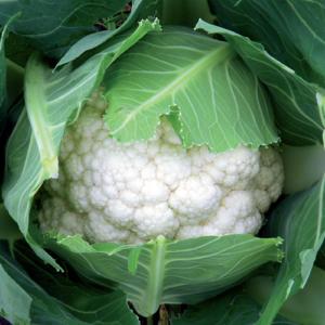 Vrtnarstvo Breskvar - Brassica Oleracea Botrytis Vinson F1