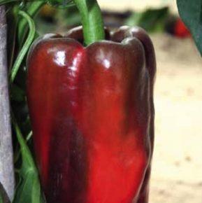 Vrtnarstvo Breskvar - Capsicum annuum Kadmio F1