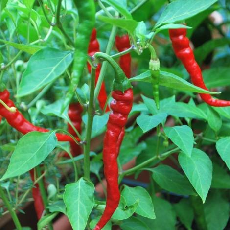 Vrtnarstvo Breskvar - Capsicum Annuum de Cayenne