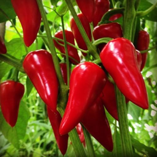 Vrtnarstvo Breskvar - Capsicum annuum As red