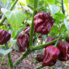 Vrtnarstvo Breskvar - Capsicum Annuum Habanero Chocolate