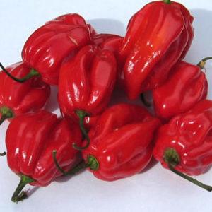Vrtnarstvo Breskvar - Capsicum Annuum Habanero Red Caribbean