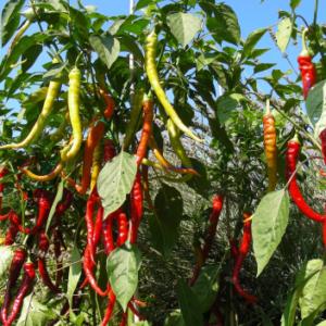 Vrtnarstvo Breskvar - Capsicum annuum Milder Spiral