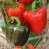 Vrtnarstvo Breskvar - Capsicum annuum Yolo Wonder