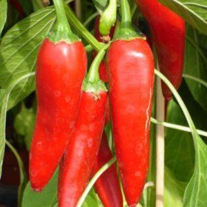 Vrtnarstvo Breskvar - Capsicum annuum Ziegenhorn
