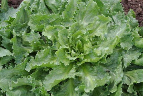 Vrtnarstvo Breskvar - Cichorium endivia Ascolana