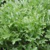 Vrtnarstvo Breskvar - Cichorium endivia Rosy