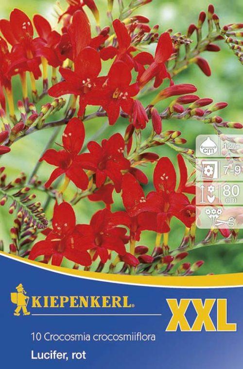 Vrtnarstvo Breskvar - Crocosmia Lucifer XXL