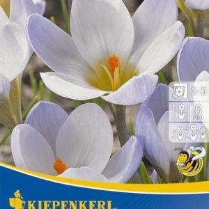 Vrtnarstvo Breskvar - Crocus Blue Pearl