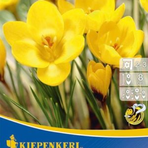 Vrtnarstvo Breskvar - Crocus Goldilocks
