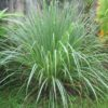 Vrtnarstvo Breskvar - Cymbopogon sp.